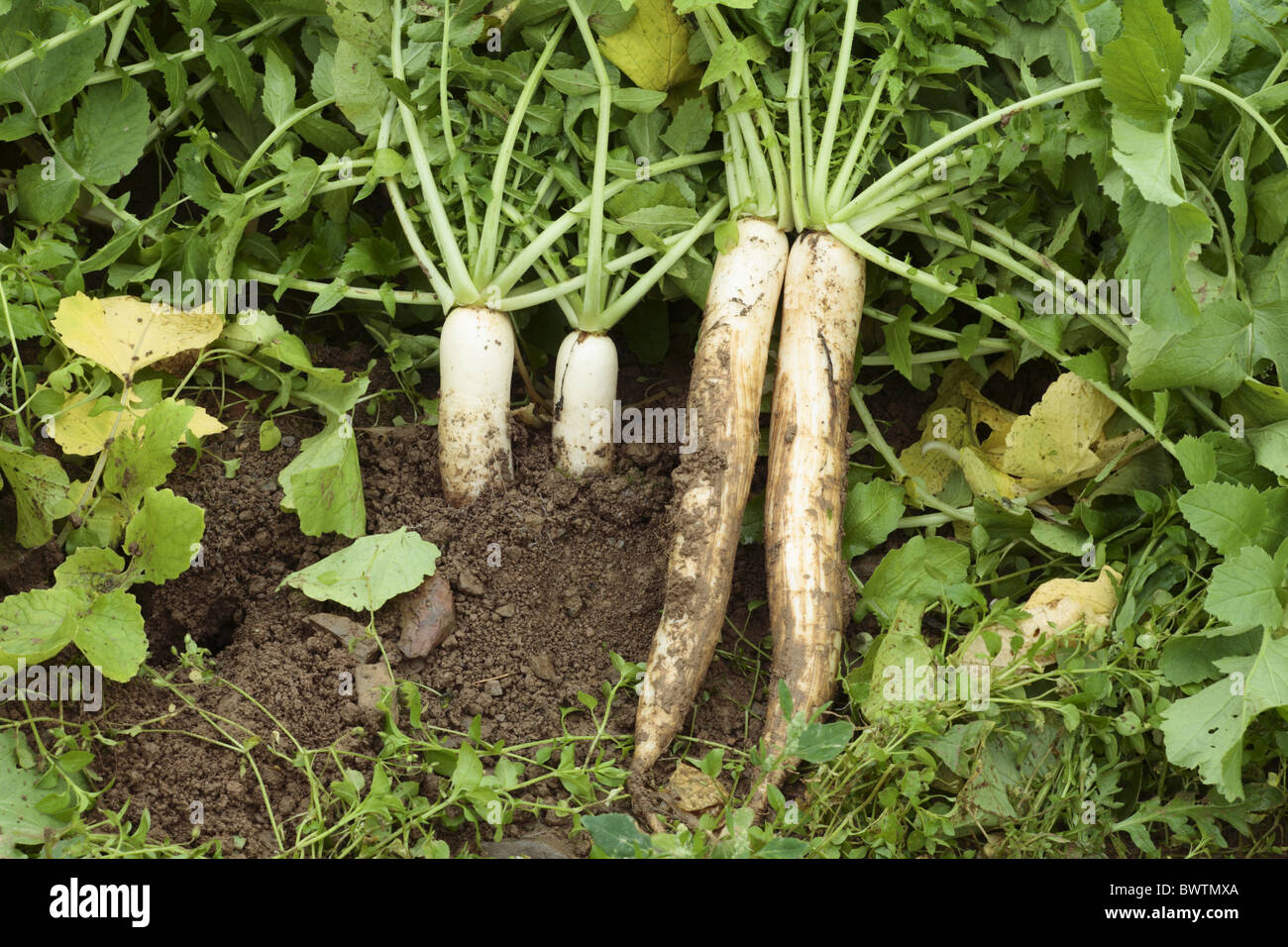 Raphanus sativus mooli radish winter daikon root vegetable white chinese nature natural environment environmental Stock Photo