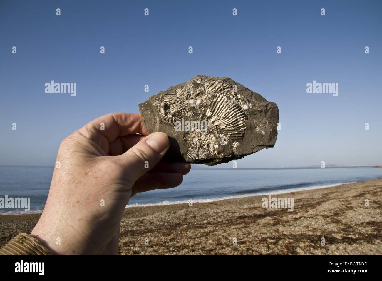 britain british england english europe european fossil fossils fossilised geology geological. geologis world heritage - Stock Image