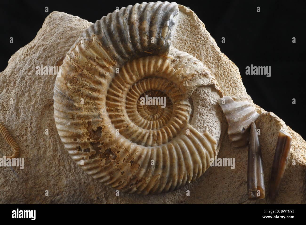 fossil fossilized ammonite jurassic england english Parkinsonia mollusc shell fossilization invertebrate rock europe - Stock Image