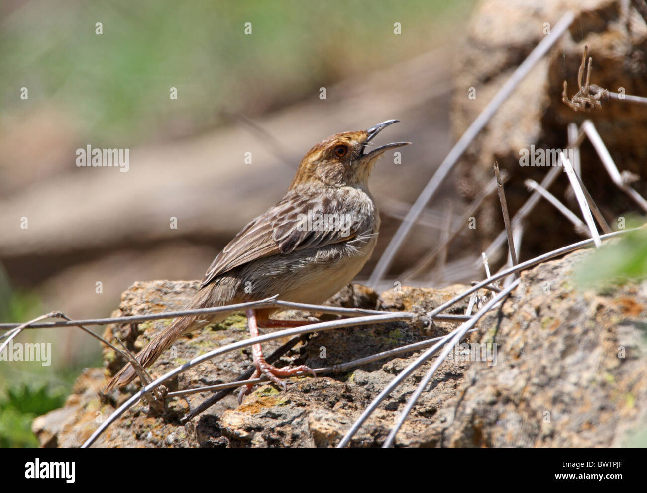 Rock-loving Cisticola (Cisticola aberrans emini) adult, panting in heat, standing on rock, Hell's Gate N.P., - Stock Image