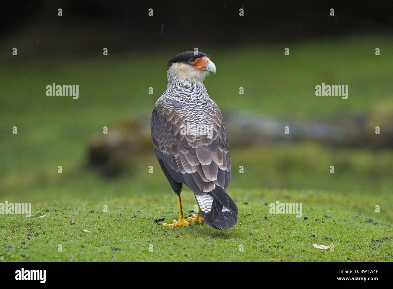 Southern Crested Caracara (Caracara p. plancus) adult, standing in rain, Tierra del Fuego N.P., Chile - Stock Image