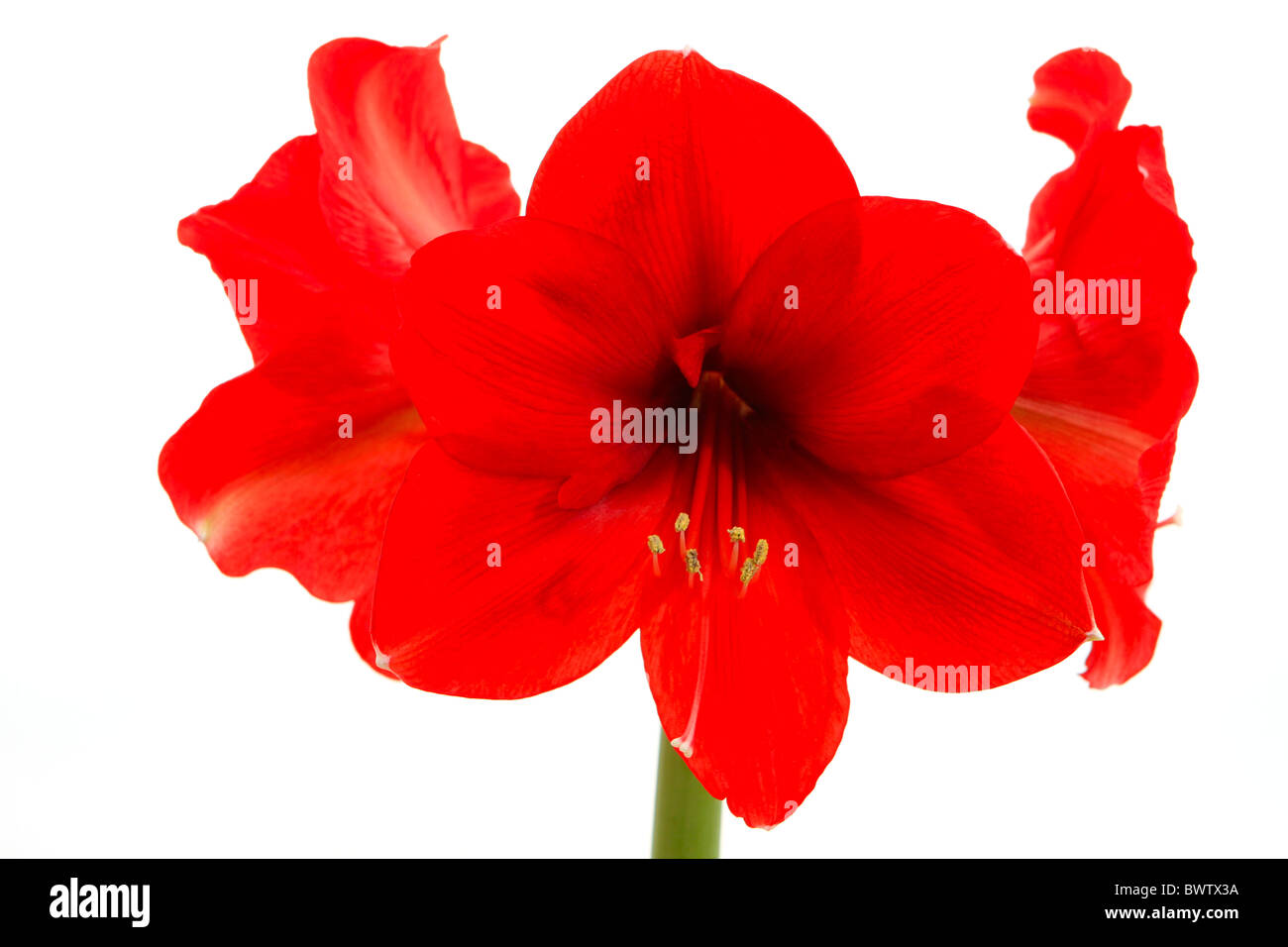 Red Amaryllis, Hippeastrum Stock Photo