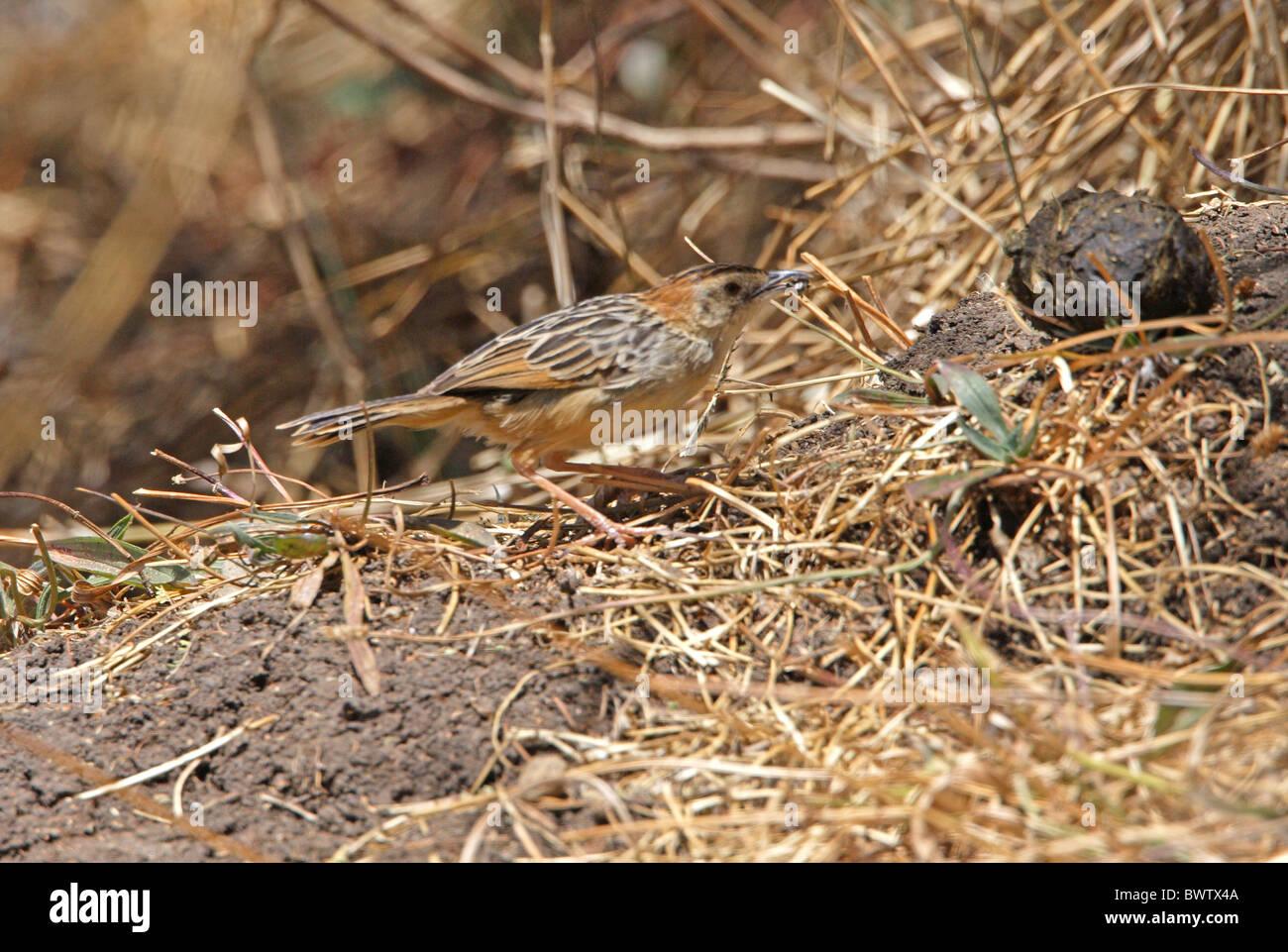 Stout Cisticola (Cisticola robustus) adult, feeding on ground, Debre Libanos Gorge, Oromia, Ethiopia, april - Stock Image