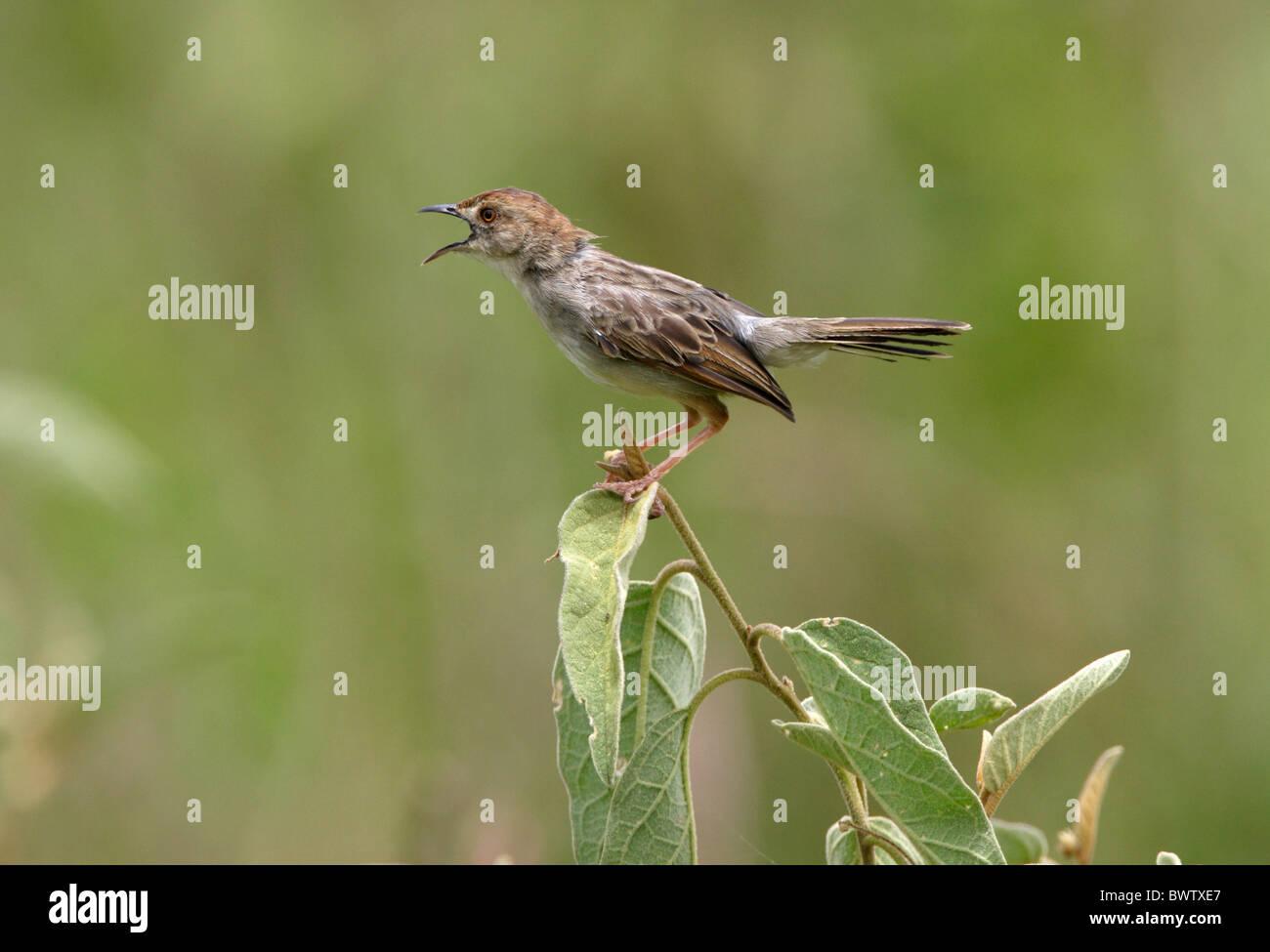 Rattling Cisticola (Cisticola chiniana) adult, singing, perched in bush, Lake Naivasha, Kenya, october - Stock Image