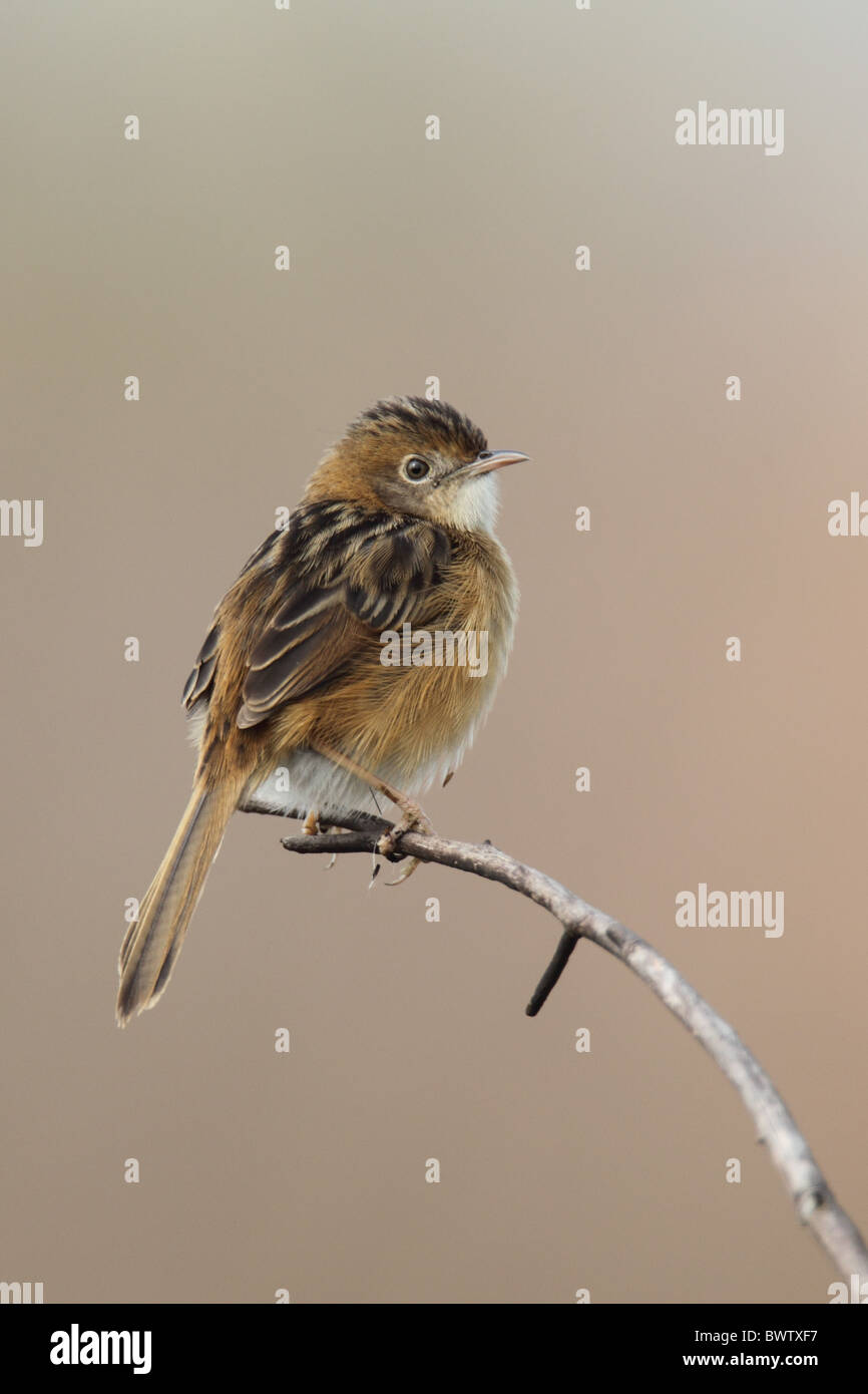 Golden-headed Cisticola (Cisticola exilis) adult, perched on twig, Hong Kong, China, january - Stock Image