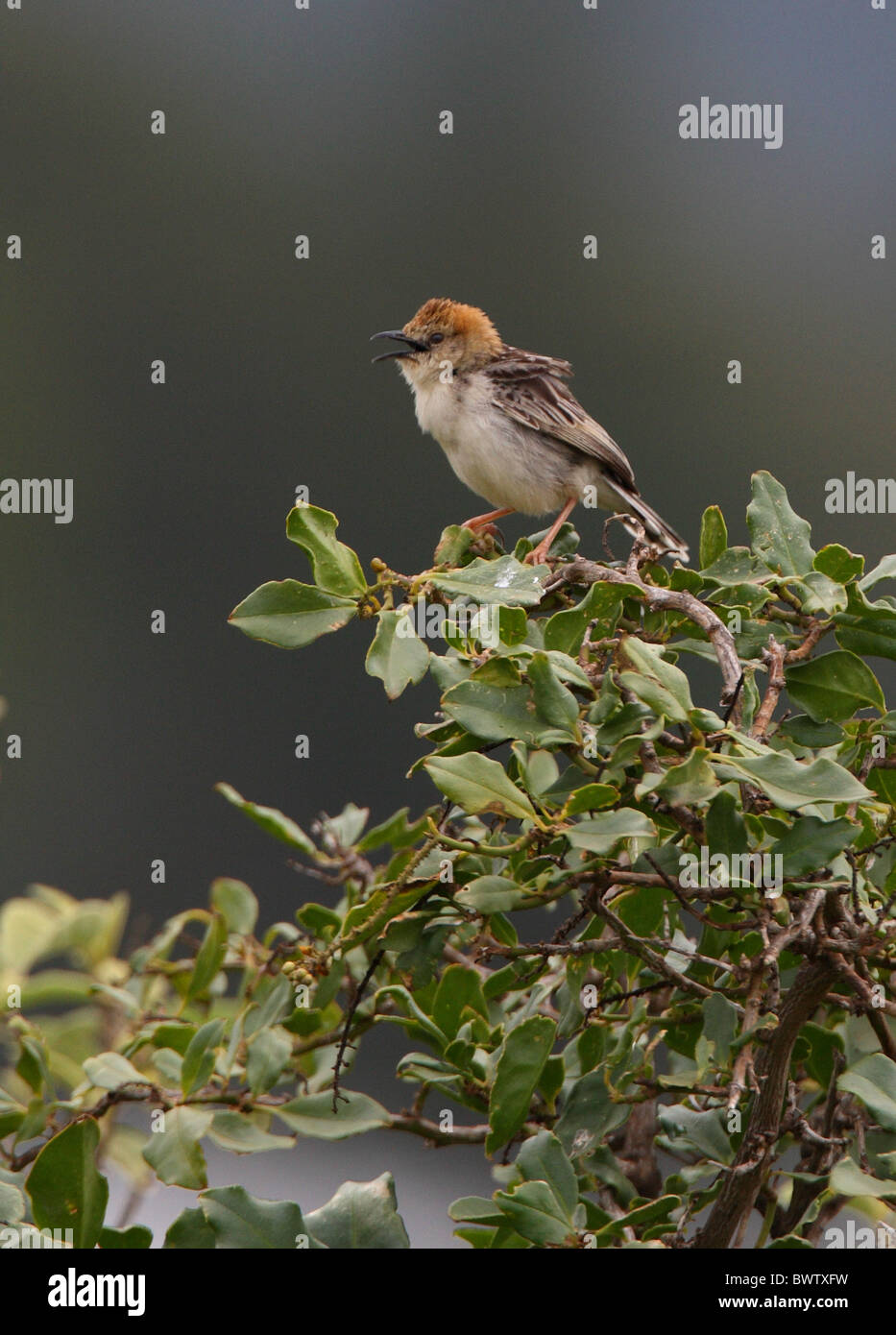 Levaillant's Cisticola (Cisticola tinniens oreophilus) adult male, singing, perched on bush top, Kenya, november - Stock Image