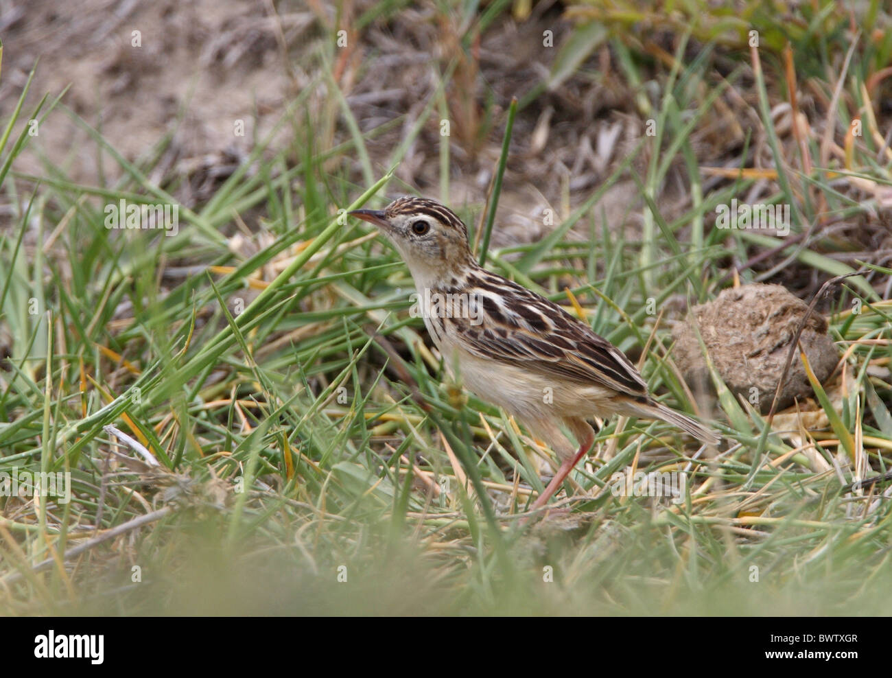Pectoral-patch Cisticola (Cisticola brunnescens) adult, standing on ground, Lake Nakuru N.P., Great Rift Valley, - Stock Image