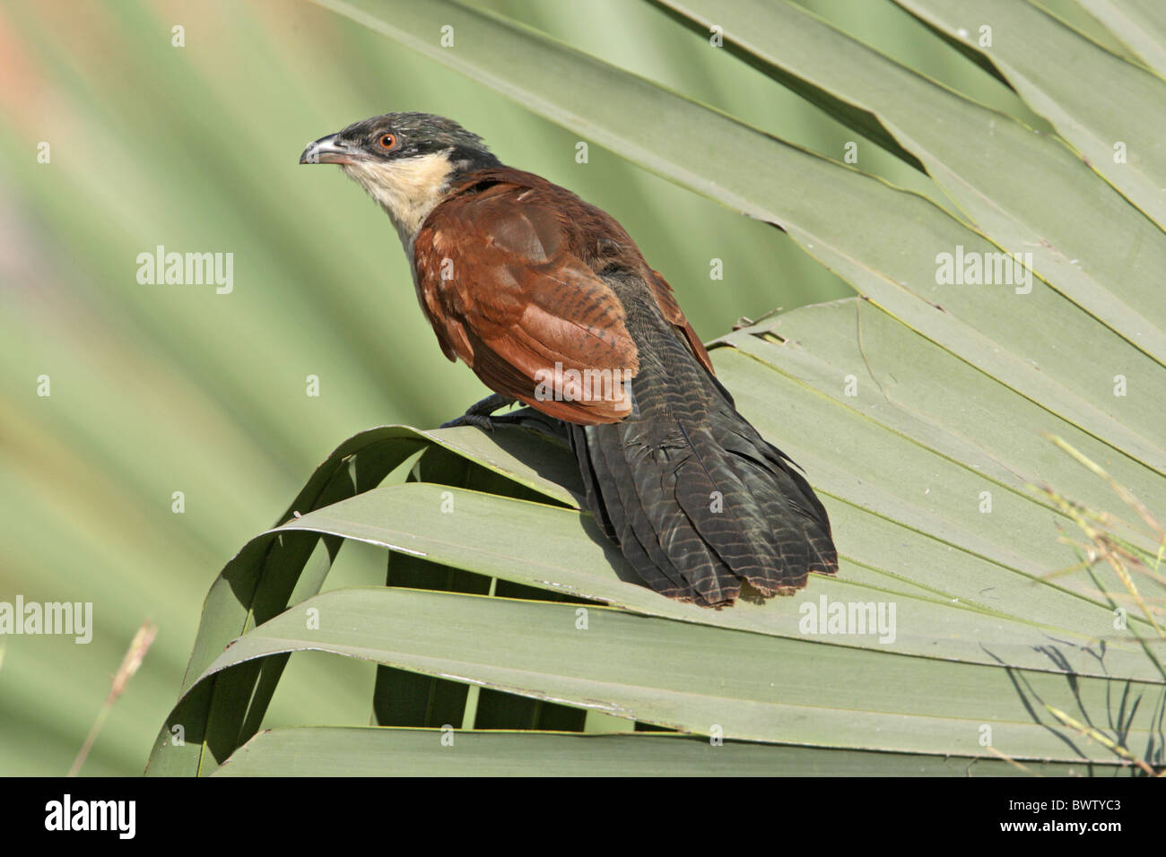 Senegal Coucal (Centropus senegalensis) adult, perched on palm frond, Gambia, december - Stock Image