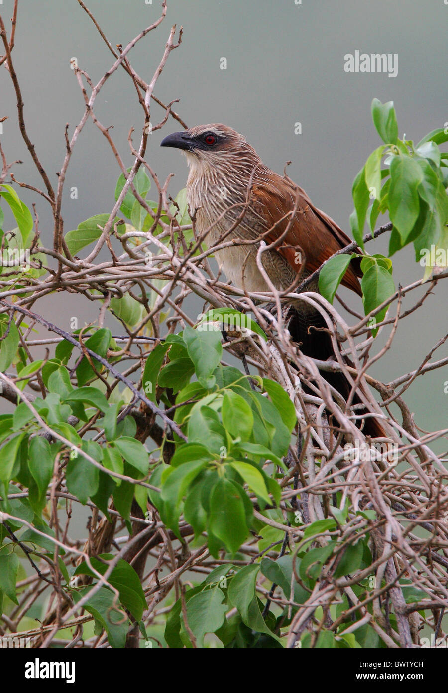 White-browed Coucal (Centropus superciliosus) adult, perched in bush, Mwaluganje Elephant Reserve, Kenya, november - Stock Image