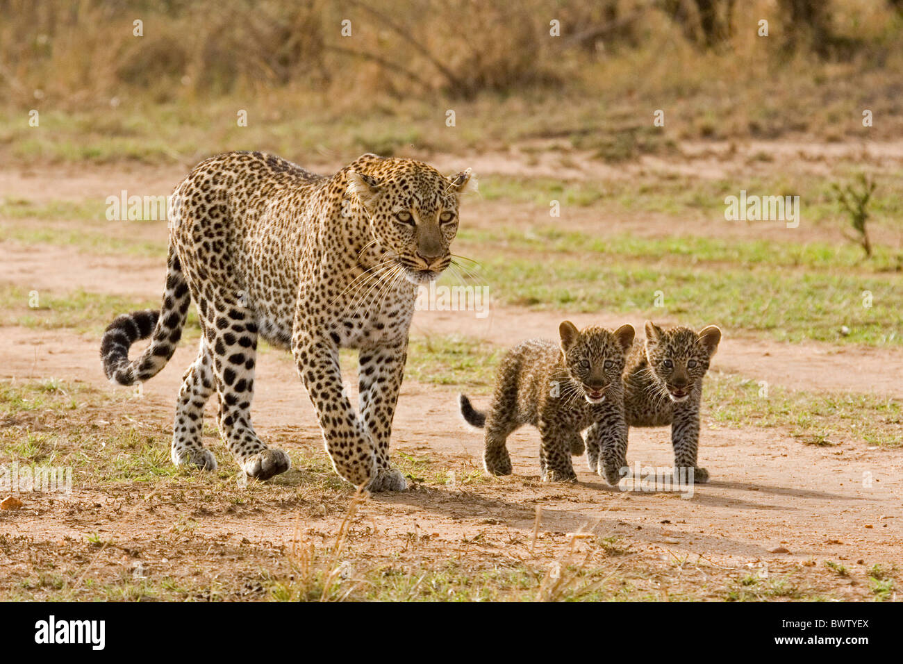 All Big Cats In Kenya