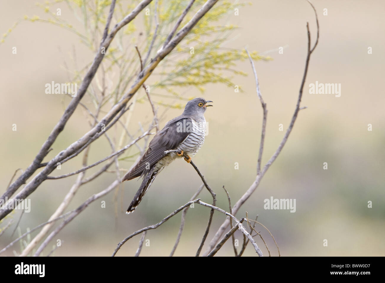 Common Cuckoo (Cuculus canorus) adult male, calling, perched on Broom (Retama sp.) twig, Extremadura, Spain, may - Stock Image