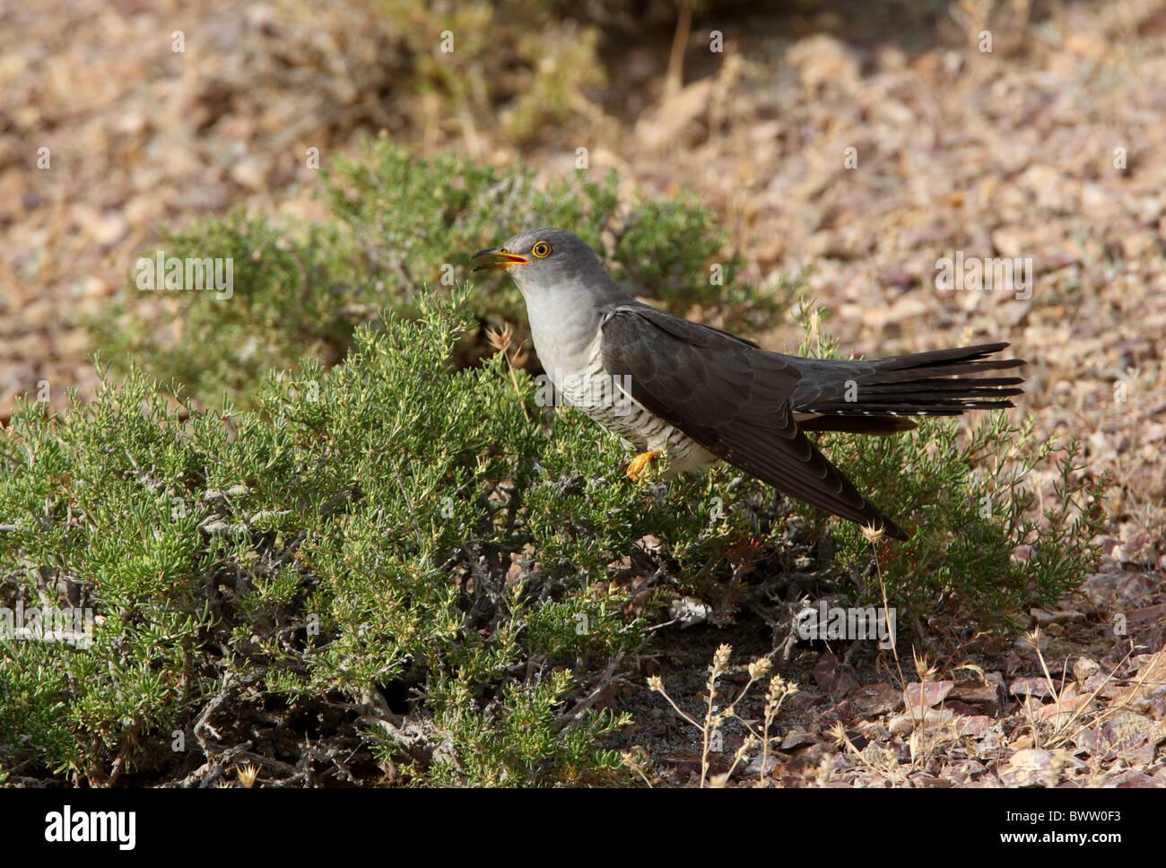 Common Cuckoo (Cuculus canorus) adult, calling, perched in low bush, Lake Balkhash, Kazakhstan, june - Stock Image