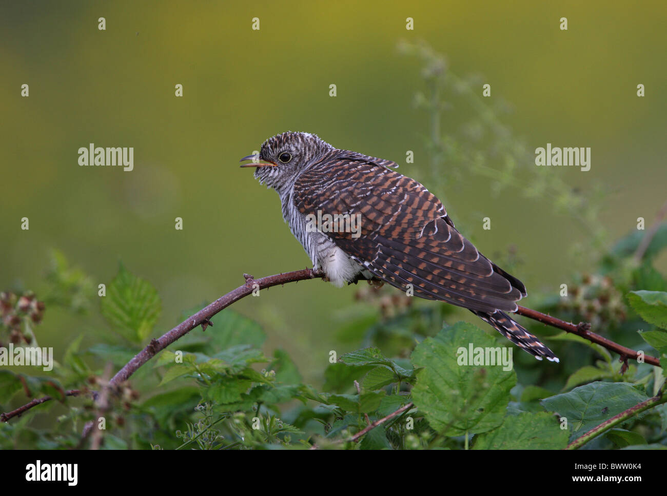 Common Cuckoo (Cuculus canorus) juvenile, calling, perched on bramble, Norfolk, England, july - Stock Image