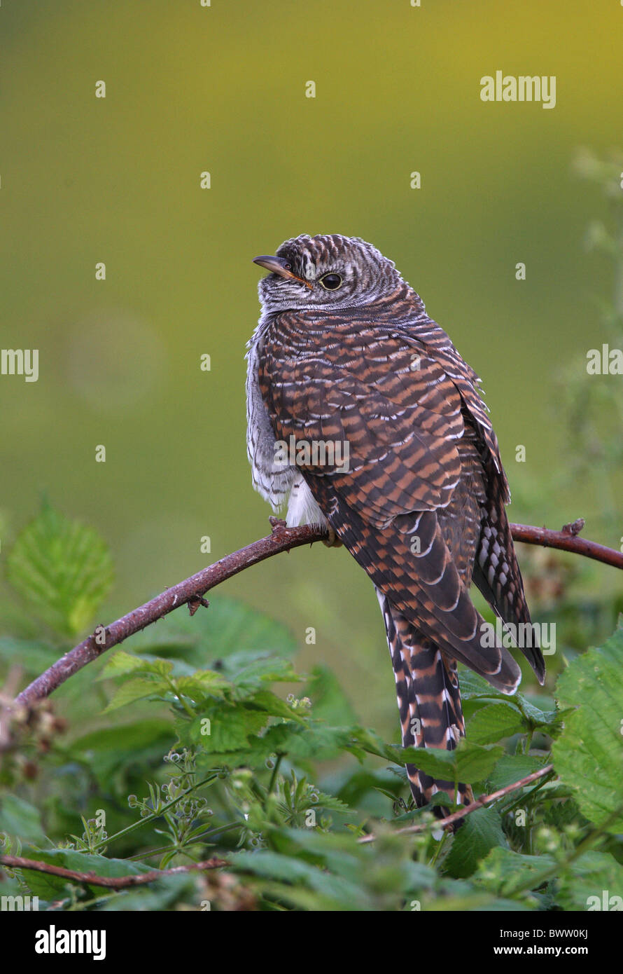 Common Cuckoo (Cuculus canorus) juvenile, perched on bramble, Norfolk, England, july - Stock Image