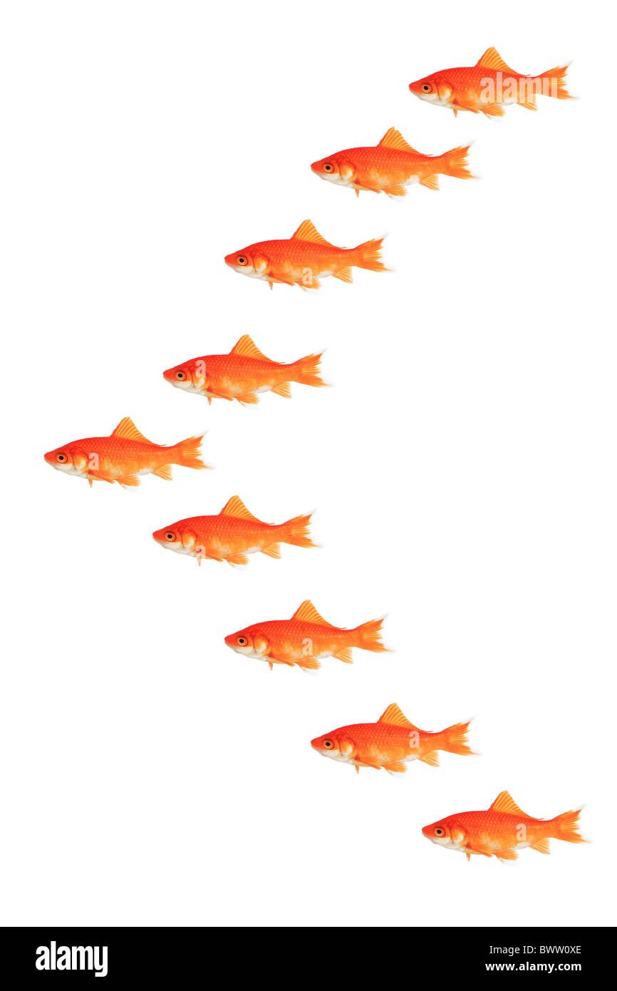 Goldfish Carassius auratus auratus studio symbol symbolic white orange white concept clone fish federation Stock Photo