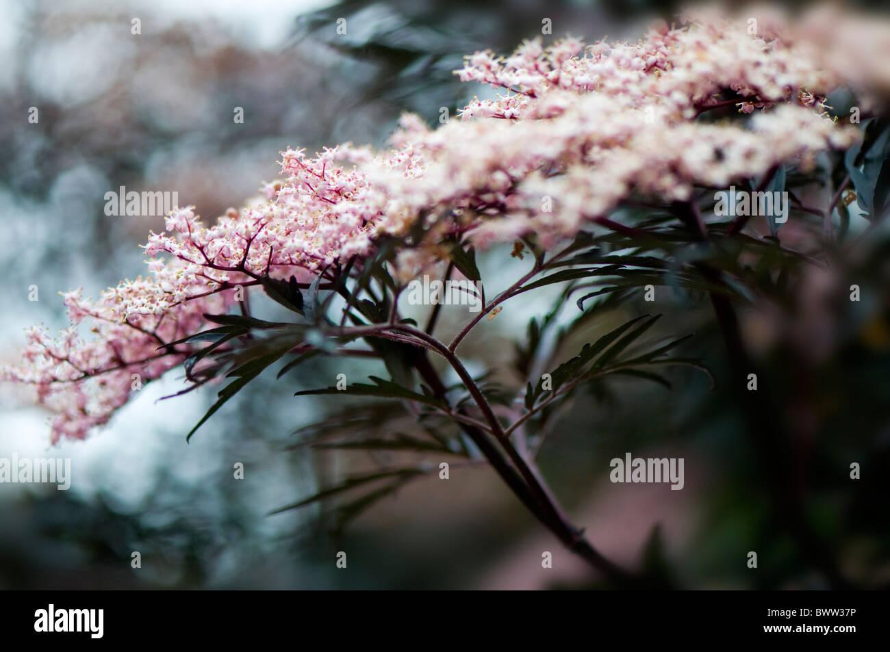 Sambucus nigra 'Black Beauty' - common Elder - Stock Image