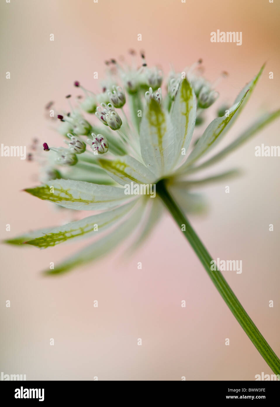 A single flower head of Astrantia major 'Large white' - Masterwort - Stock Image