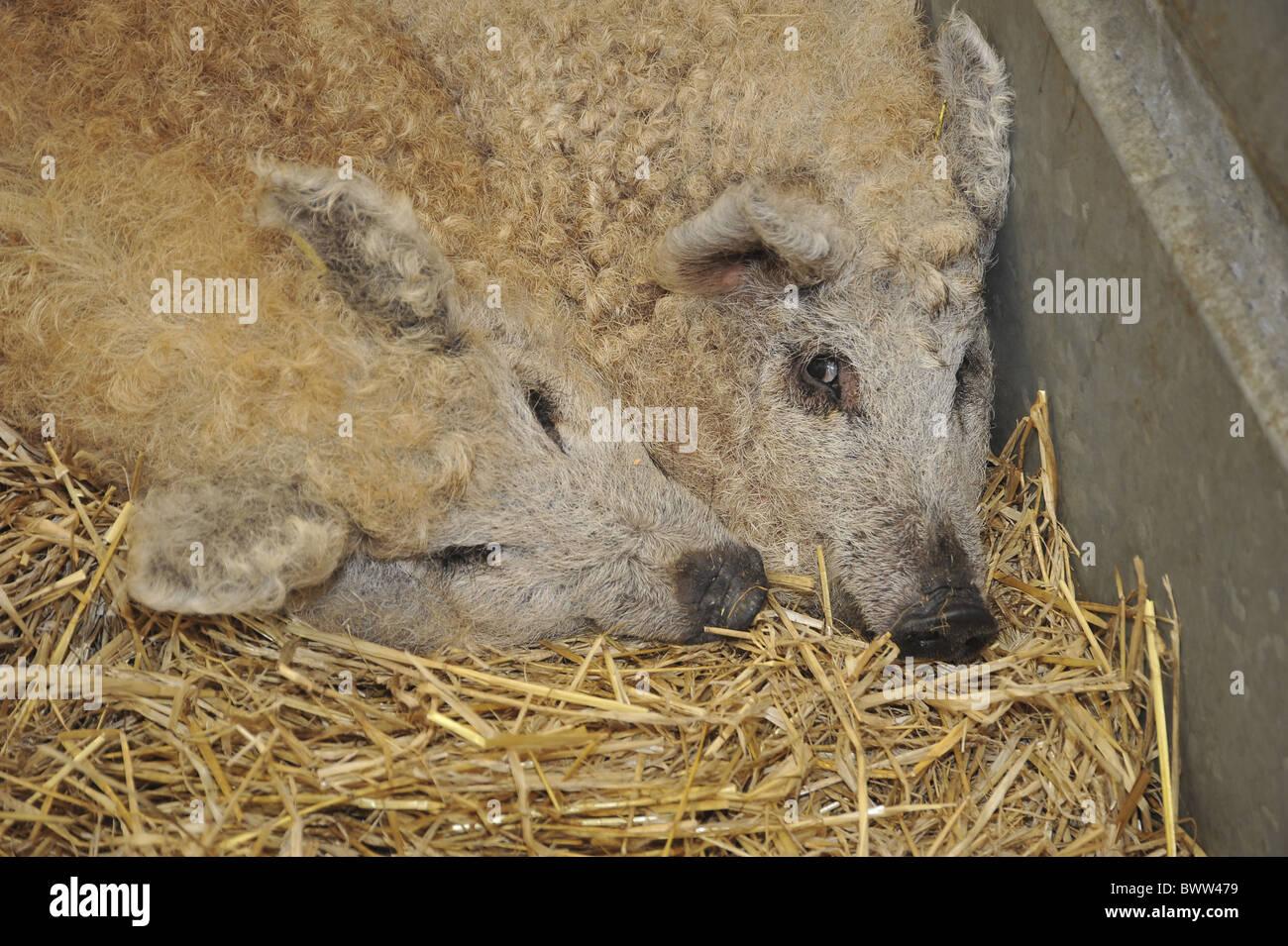 Smithfield pigs Mangalitza Show pig pigs domestic domesticated farm farms farming omnivore omnivores mammal mammals - Stock Image