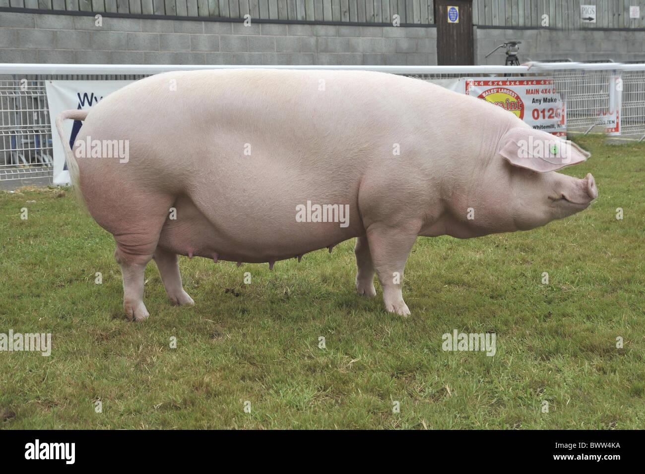 Pig of pigs