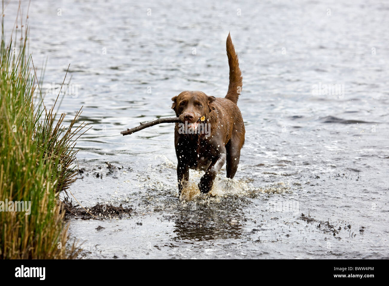 Labrador (Canis lupus familiaris) running with stick through water Stock Photo