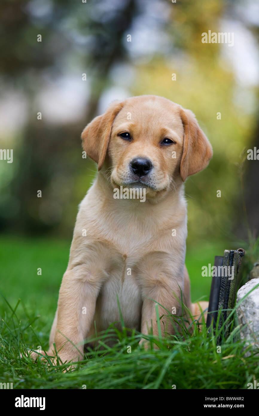 Labrador (Canis lupus familiaris) pup in garden - Stock Image