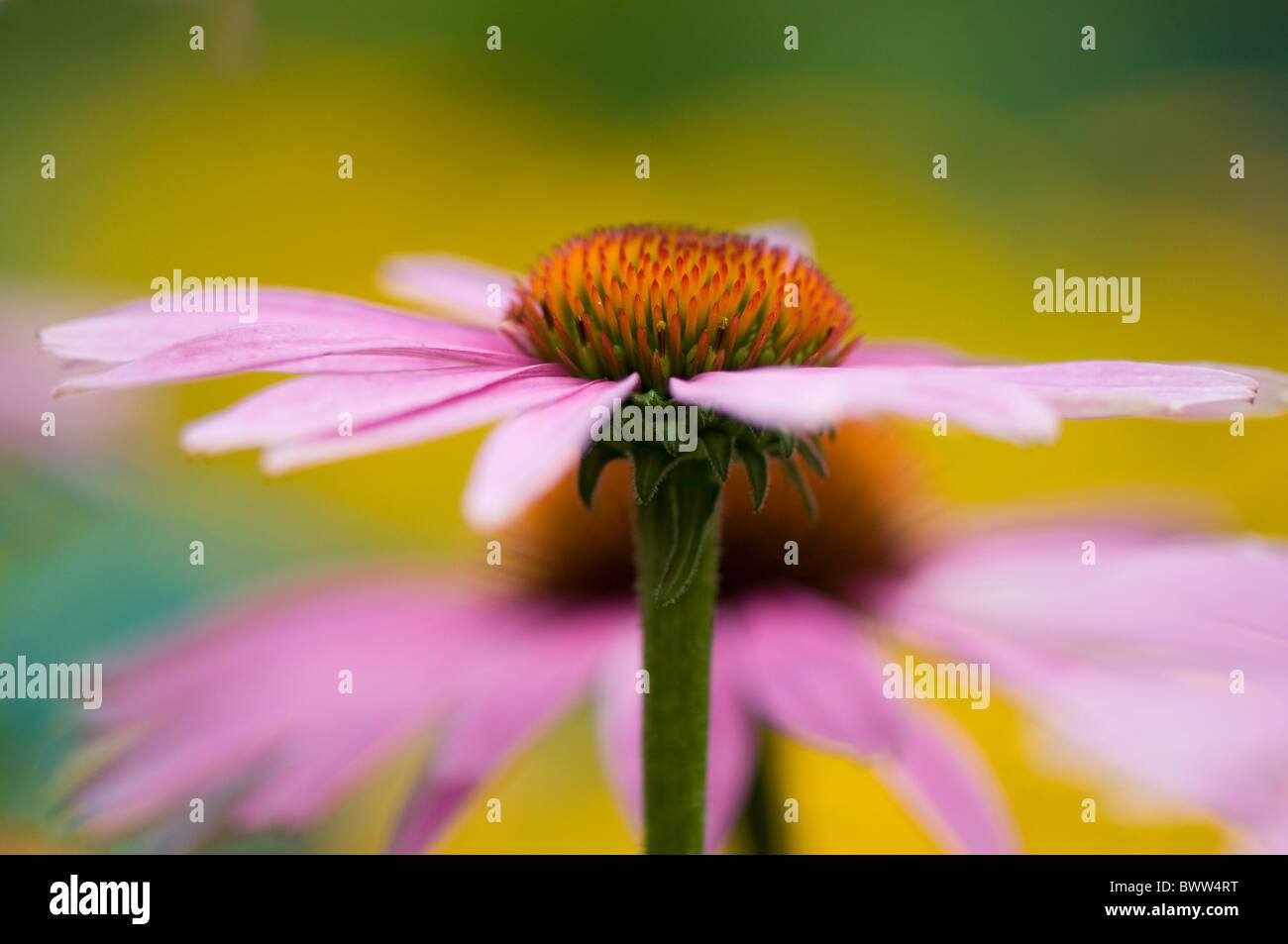 Pink Cone Flowers - Echinacea purpurea - Stock Image