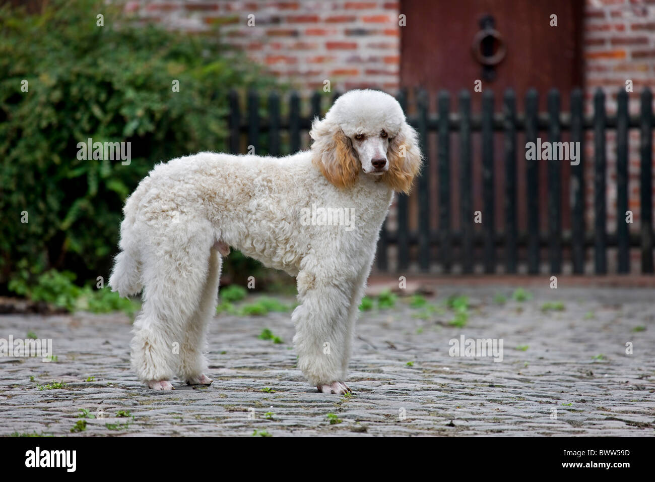 Standard poodle (Canis lupus familiaris) in garden in front of house - Stock Image