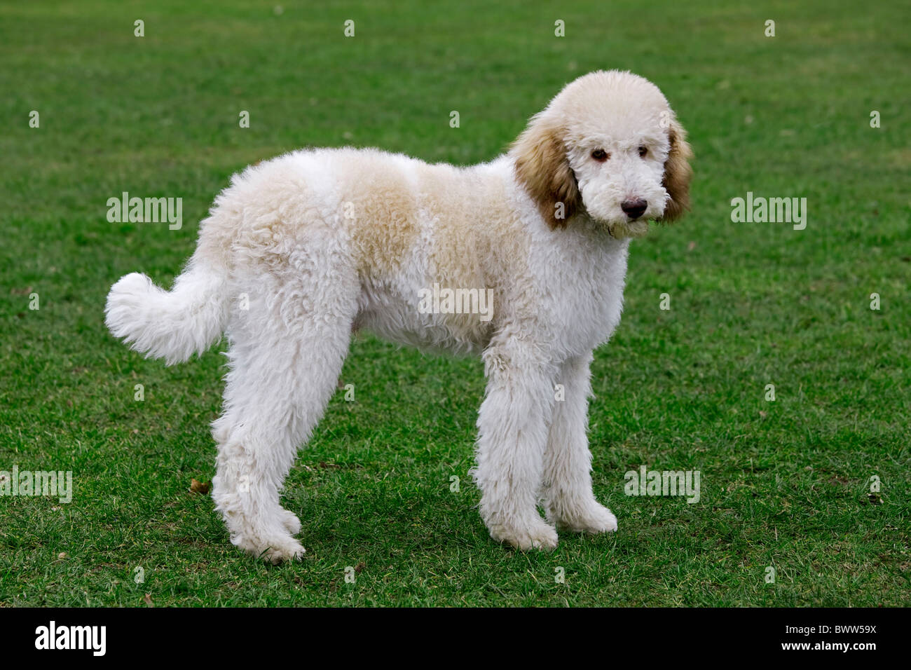 Standard poodle (Canis lupus familiaris) in garden - Stock Image