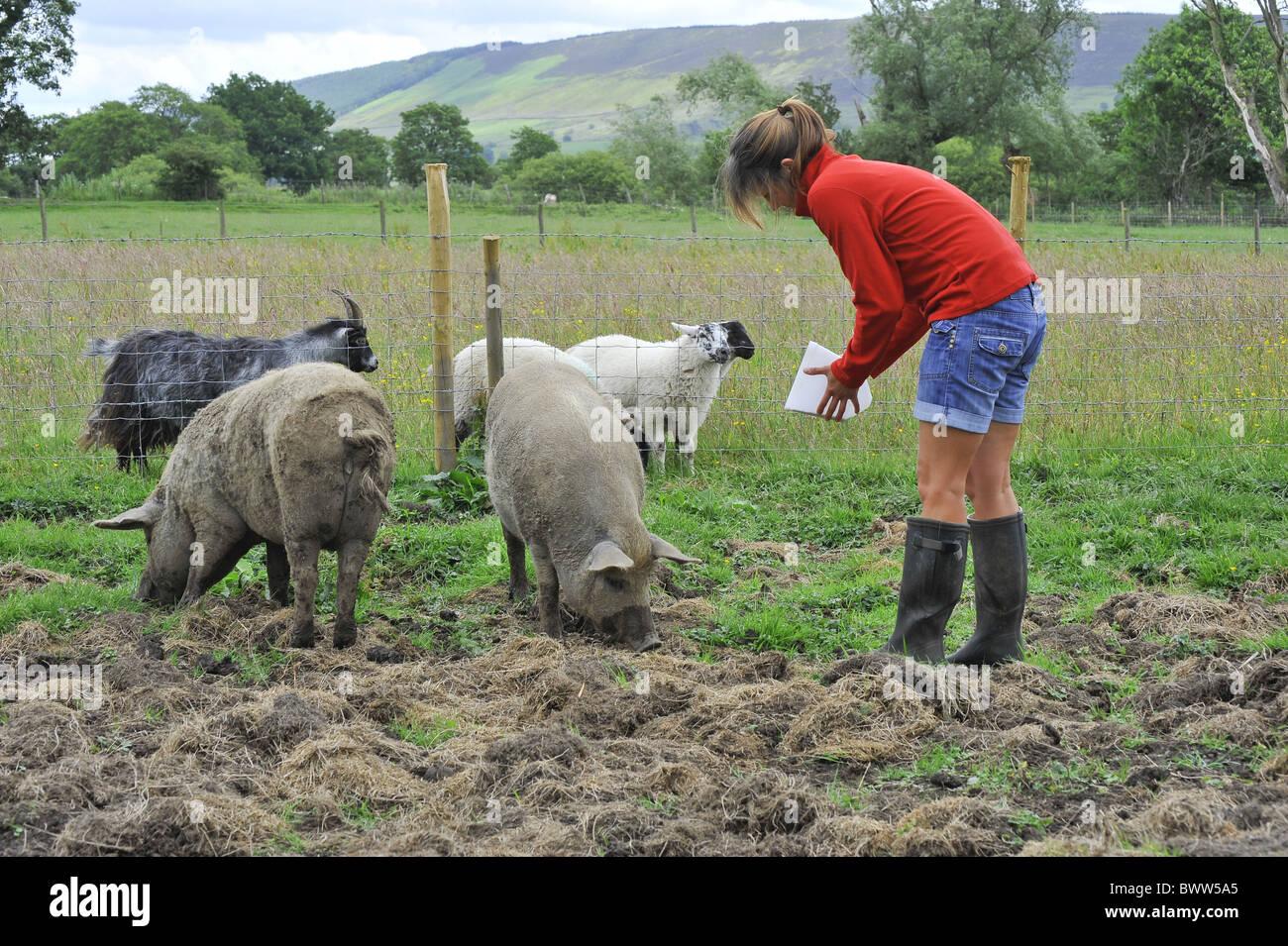 Mangalitsa Pigs domestic pig pigs hog hogs swine domestic domesticated farm farms farming omnivore omnivores mammal - Stock Image