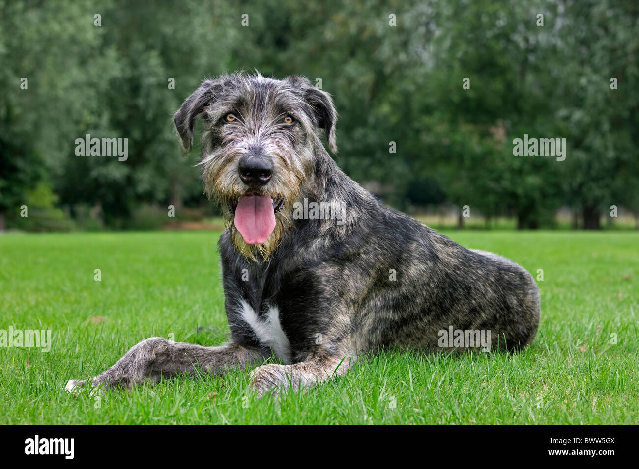 Irish wolfhound (Canis lupus familiaris) panting on lawn in garden - Stock Image