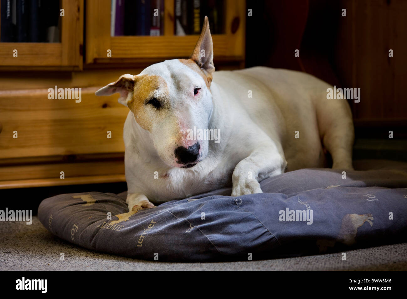 Bull terrier (Canis lupus familiaris) resting on cushion in living room - Stock Image