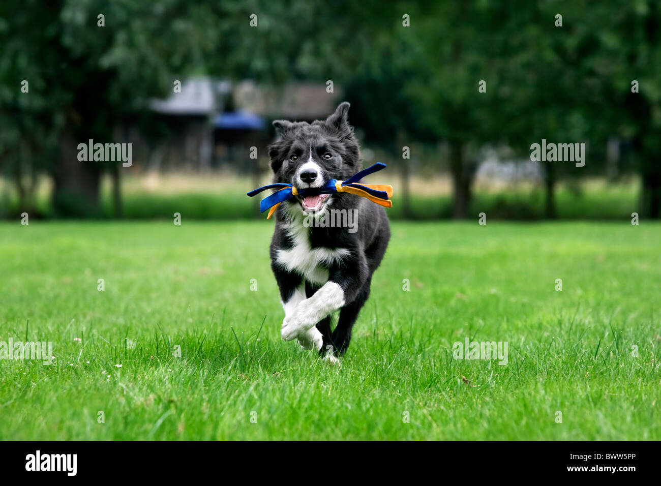 Border Collie (Canis lupus familiaris) fetching toy in garden - Stock Image