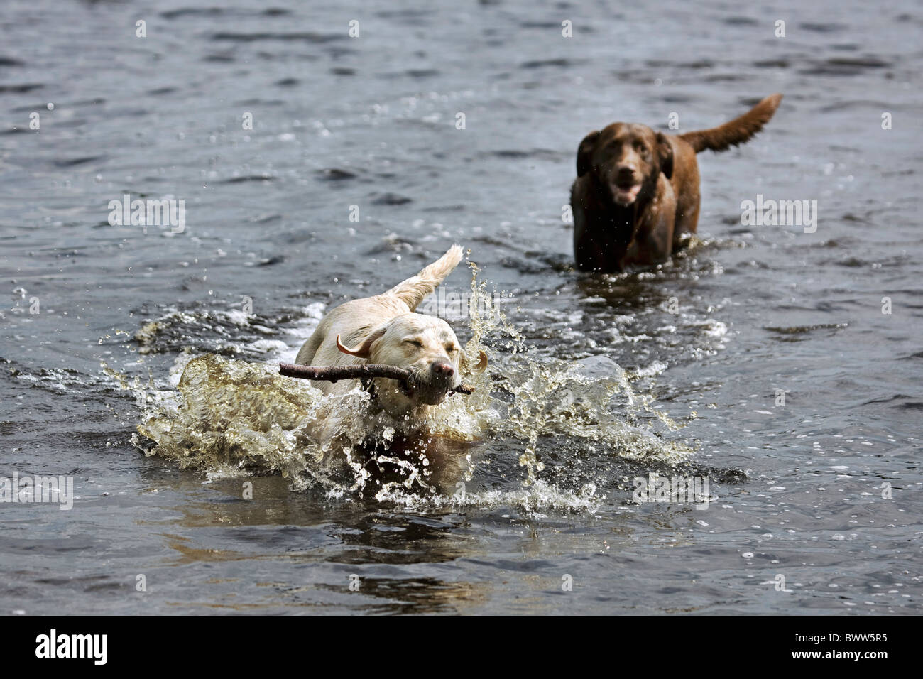 Golden retriever (Canis lupus familiaris) fetching stick from pond - Stock Image