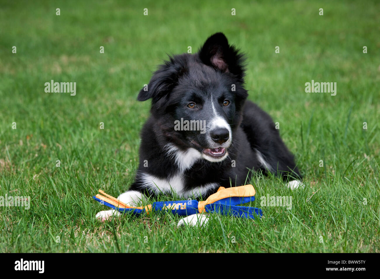 Border Collie (Canis lupus familiaris) with toy in garden - Stock Image