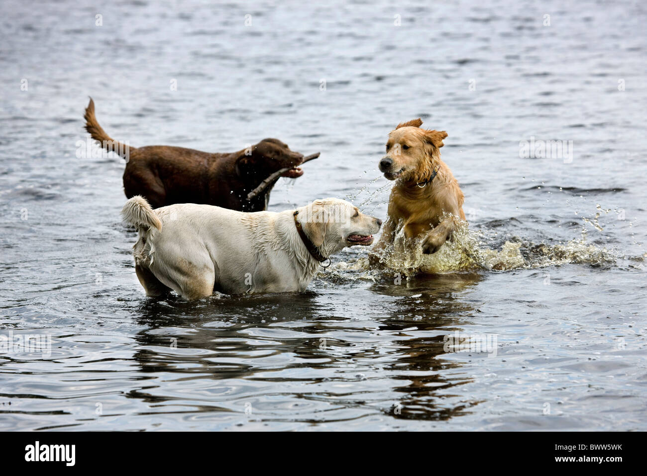 Golden retrievers (Canis lupus familiaris) playing in water - Stock Image