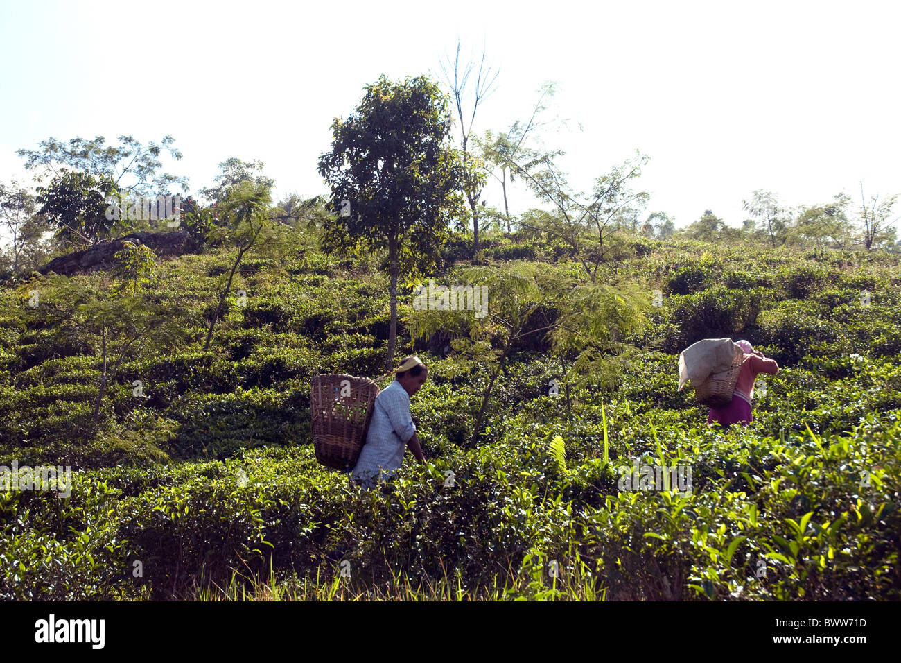 On sprawling tea plantations near Darjeeling workers pluck a few fresh leaves from each shrub - Stock Image