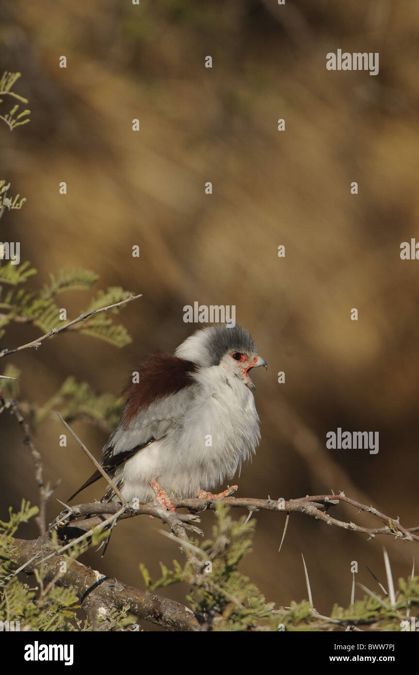 African Pygmy falcon Polihierax semitorquatus - Stock Image