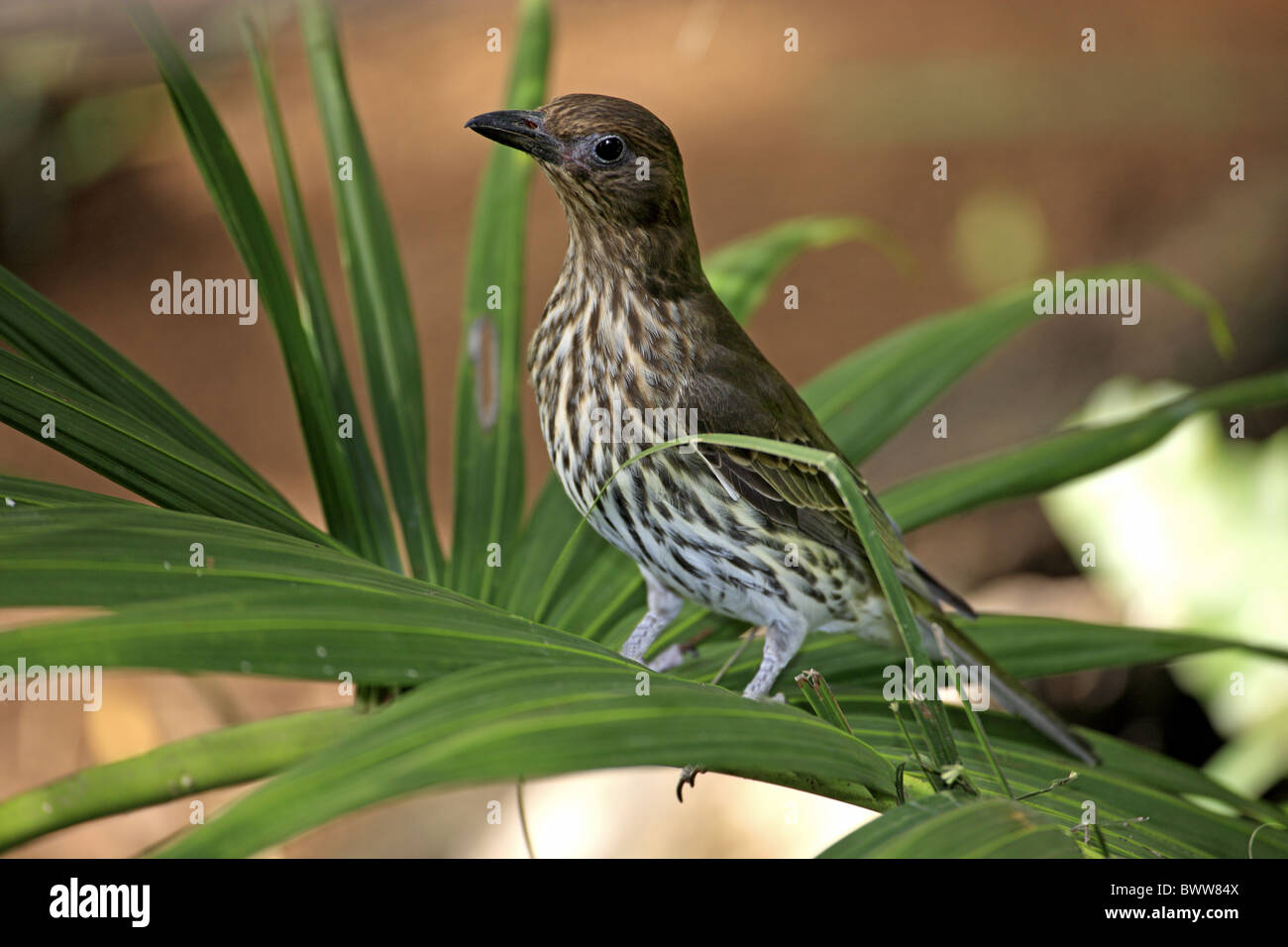 Green Figbird (Sphecotheres viridis) adult female, perched on frond, Australia Stock Photo