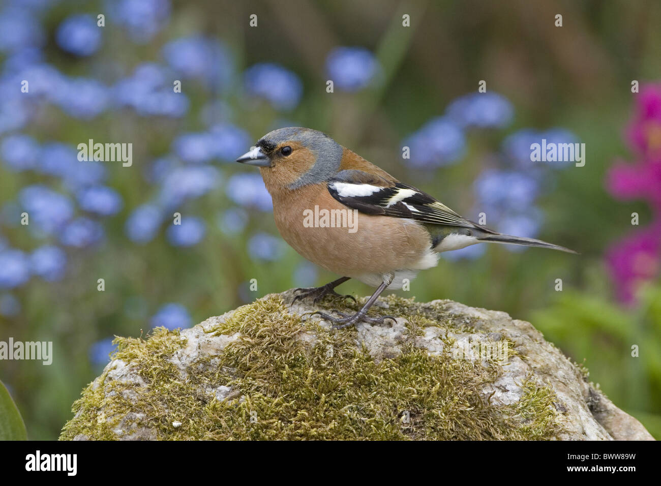 Chaffinch (Fringilla coelebs) adult male, perched on rock in garden, England, june - Stock Image