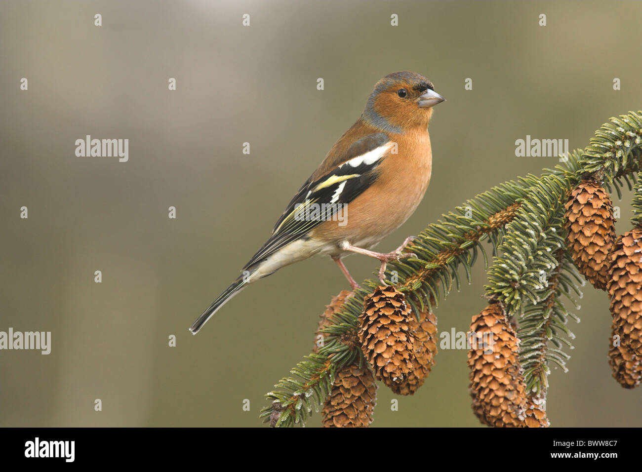 Chaffinch (Fringilla coelebs) adult male, perched on Sitka Spruce (Picea sitchensis) twig with cones, Borders, Scotland, - Stock Image