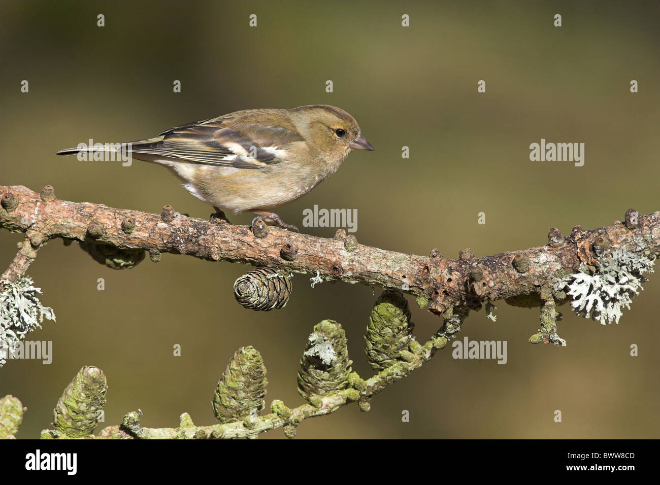 Chaffinch (Fringilla coelebs) adult female, perched on larch tree branch, Borders, Scotland, winter - Stock Image