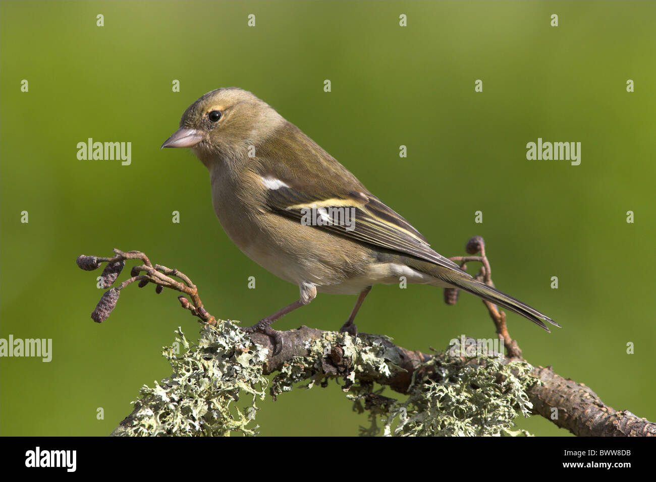 Chaffinch (Fringilla coelebs) adult female, perched on lichen covered twig, in garden, Berwickshire, Scotland, spring - Stock Image