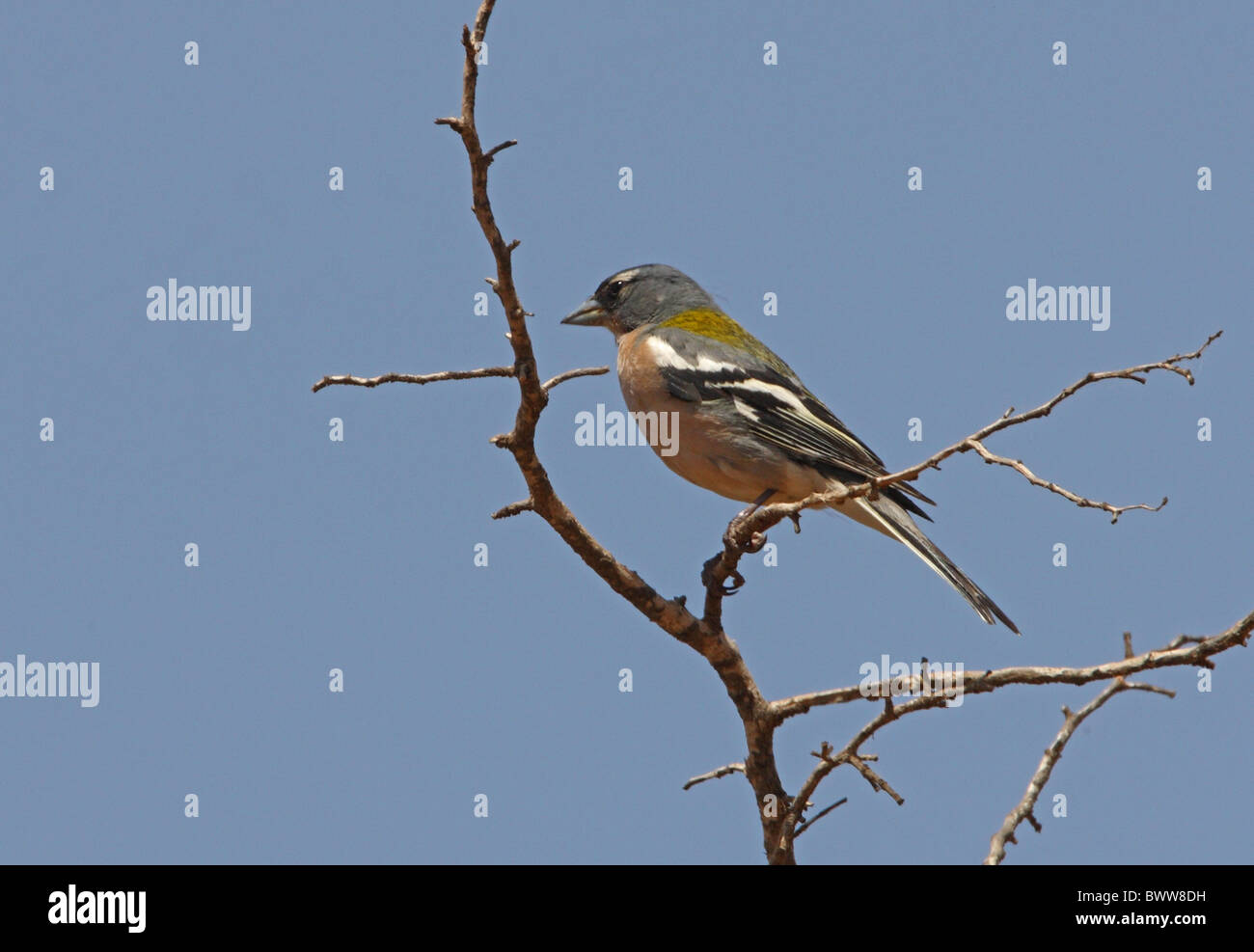 Chaffinch (Fringilla coelebs africana) North African subspecies, adult male, perched on twig, Morocco, may - Stock Image