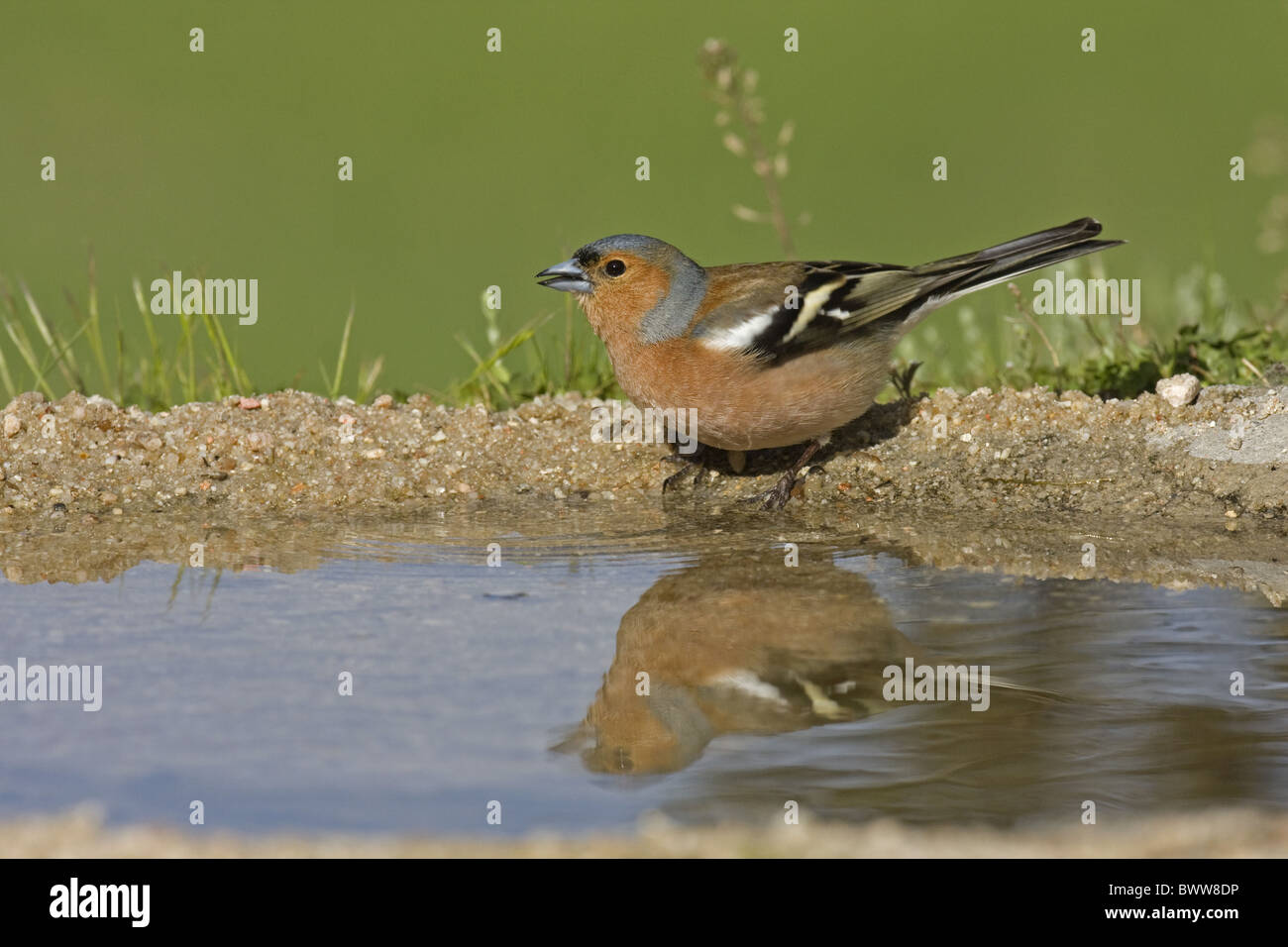 Chaffinch (Fringilla coelebs) adult male, drinking, standing at edge of pool, Spain - Stock Image