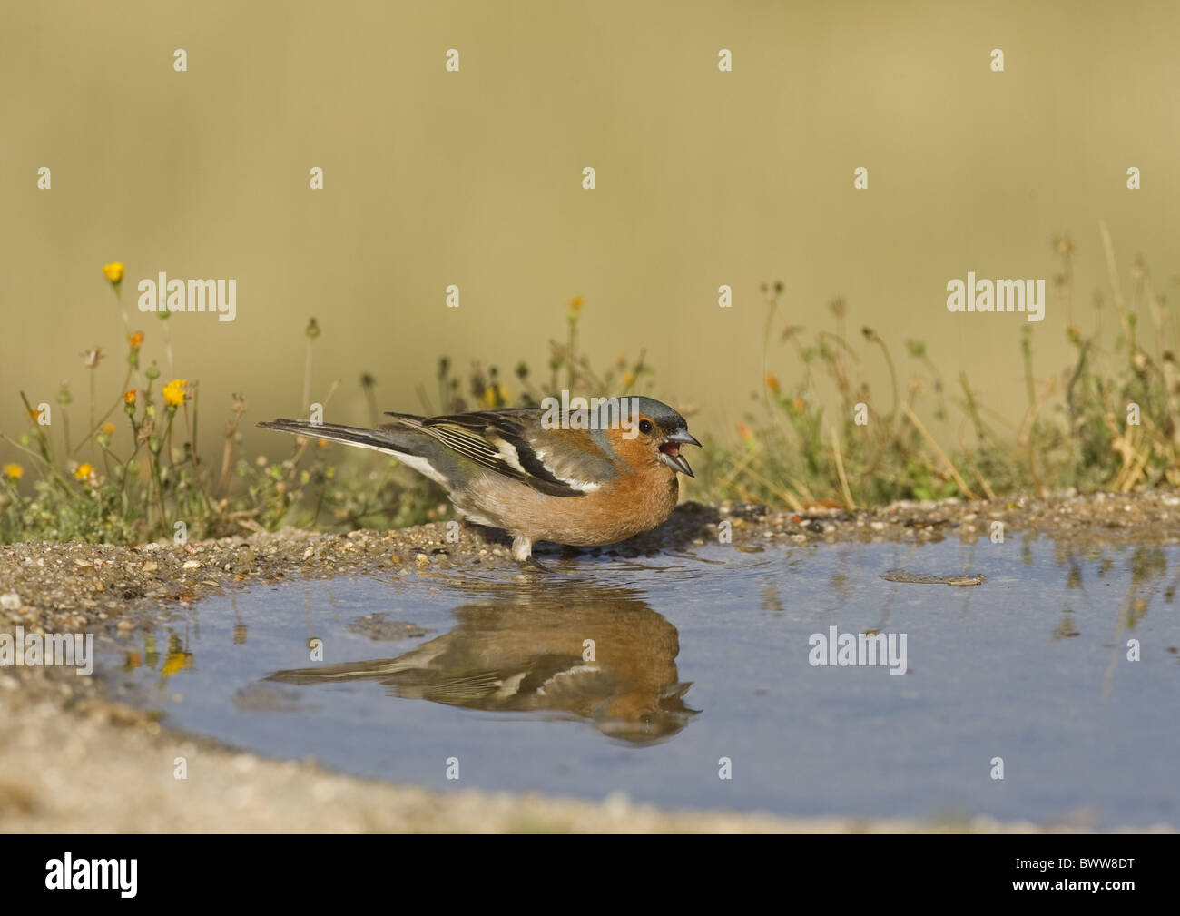 Chaffinch (Fringilla coelebs) adult male, aggressive display at edge of pool, Spain - Stock Image