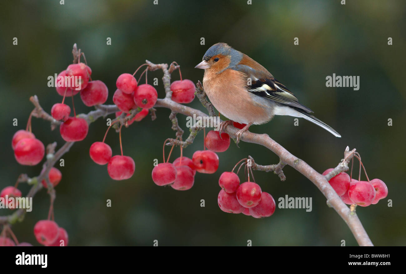 Chaffinch (Fringilla coelebs) adult male, perched on crabapple with fruit in garden, Leicestershire, England, winter - Stock Image