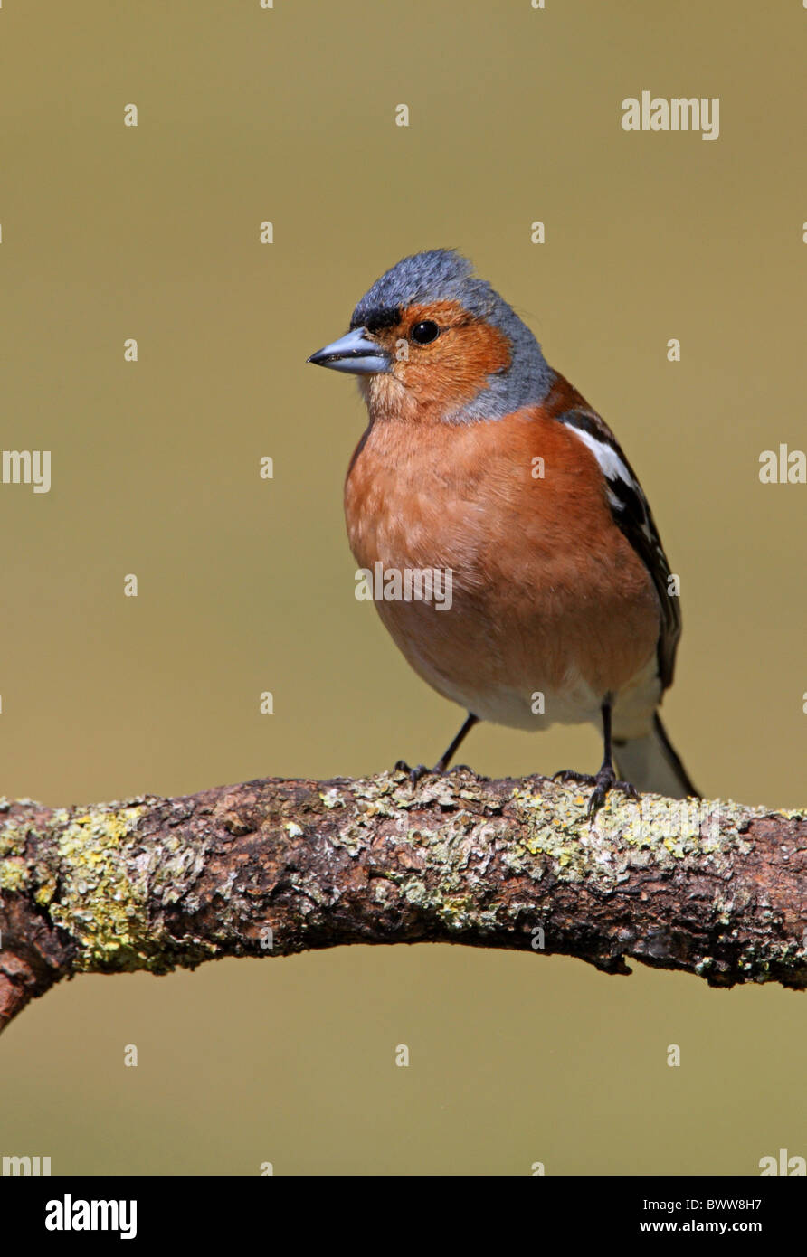 Chaffinch (Fringilla coelebs) adult male, perched on branch, Norfolk, England, april - Stock Image