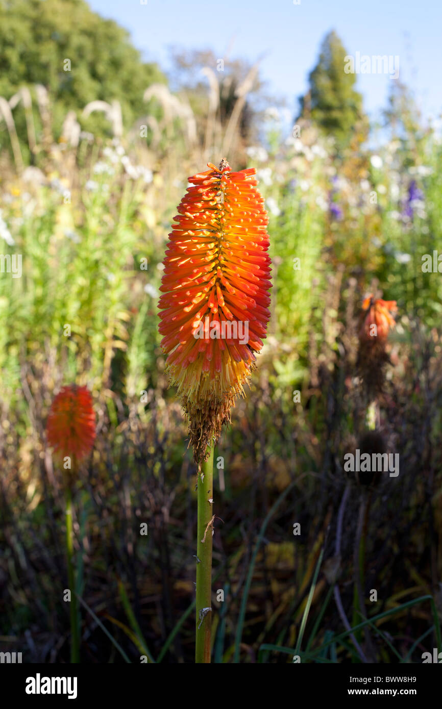 Red Hot Poker, Kniphofia - Stock Image