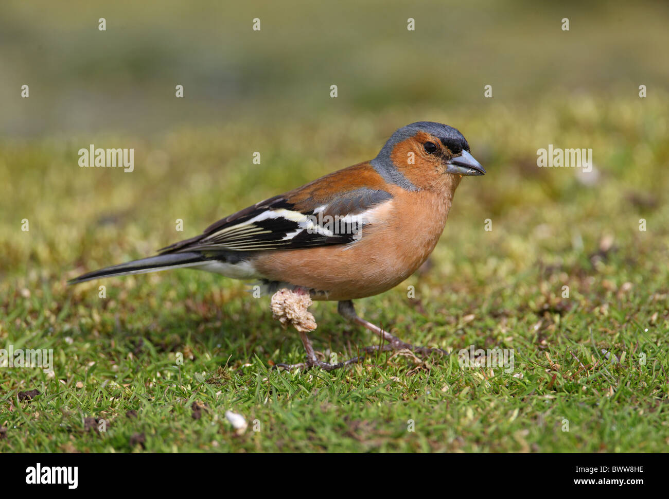 Chaffinch (Fringilla coelebs) adult male, with large growth on leg, Norfolk, England, april - Stock Image