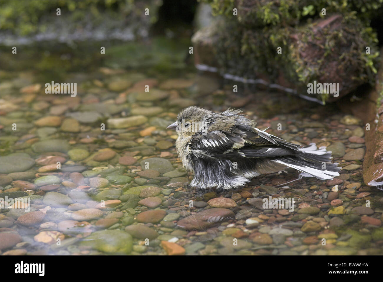 Chaffinch (Fringilla coelebs) adult female, bathing in garden pool, Chirnside, Berwickshire, Scotland, summer - Stock Image